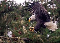 October 5, 2018 - Elkton, OREGON, U.S - A wild bald eagle lands in the branches of an old growth Douglas fir tree along the Umpqua River near Elkton in western Oregon. (Credit Image: © Robin Loznak/ZUMA Wire)