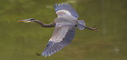 A great blue heron takes flight from a pond at the Washington Park Arboretum. The herons are often seen flying high with slow wing beats. (Mike Siegel/The Seattle Times)