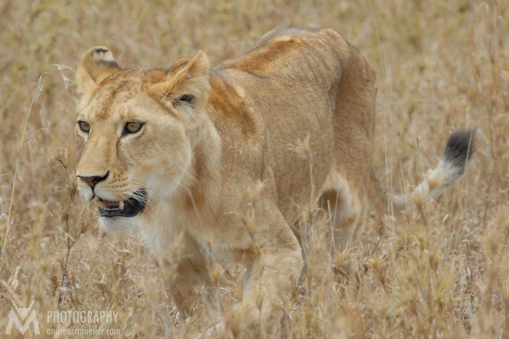 Lioness stalking through the Serengeti planes