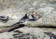 An adult pied wagtail (Motacilla alba yarrellii) feeds a demanding juvenile with invertebrates collected on the seaside rocks at Ballycastle. Ballycastle, Antrim, Northern Ireland.
