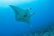 A Manta Ray, Manta birostris, swims in Tiputa Pass, Rangiroa Atoll, French Polynesia