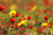 A field of Corn Poppy (Papaver umbonatum Syn Papaver subpiriforme) Photographed in Israel in March