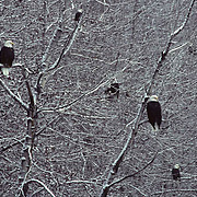Bald Eagle (Haliaeetus leucocephalus) pair of birds perched in snowy trees along a river.
