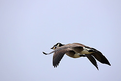 Canadian Geese (Branta canadensis) flying over Evergreen Lake in Comlara Park in McLean County Illinois