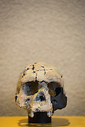 A display of skull casts is part of the Smithsonian Institution's traveling Exploring Human Origins exhibit at the Milpitas Library in Milpitas, California, on November 24, 2015. The Homo erectus skull is pictured here. (Stan Olszewski/SOSKIphoto)