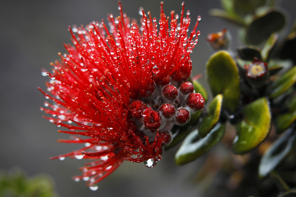 This beautiful blossom of the Ohia Lehua (Metrosideros polymorpha) was blessed by an early morning shower.  Occurring in red, orange, and yellow, the endemic ohia is one of the main sources of food for the native Hawaiian honeycreepers.