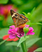Common Buckeye Butterfly on a Zinnia Flower. Image taken with a Fuji X-T2 camera and 100-400 mm OIS lens