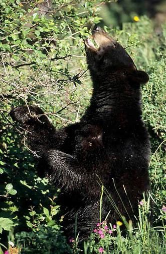 Black Bear, (Ursus americanus) Large male in Southwest Montana feeding on choke cherries. Captive Animal.