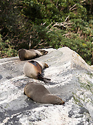 New Zealand Fur Seals (Arctocephalus forsteri) sleep on the rocks along Milford Sound (Piopiotahi), Fiordland National Park, New Zealand