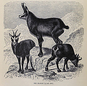 The chamois (Rupicapra rupicapra) is a species of goat-antelope native to mountains in Europe, From the book ' Royal Natural History ' Volume 2 Edited by Richard Lydekker, Published in London by Frederick Warne & Co in 1893-1894