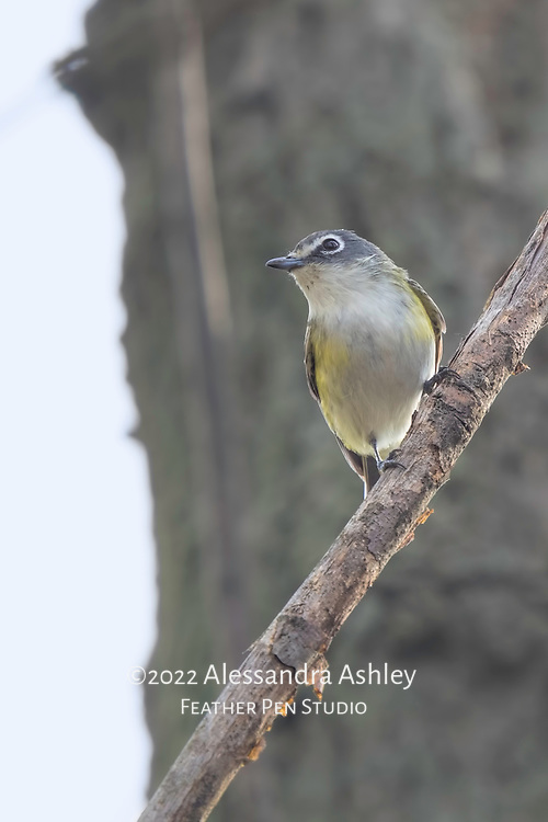 Blue-headed vireo, a small, vocal songbird of mixed forests and woodlands. Photographed at Magee Marsh Wildlife Area in northwest Ohio, a prime stopover point for neotropical migratory birds in spring.