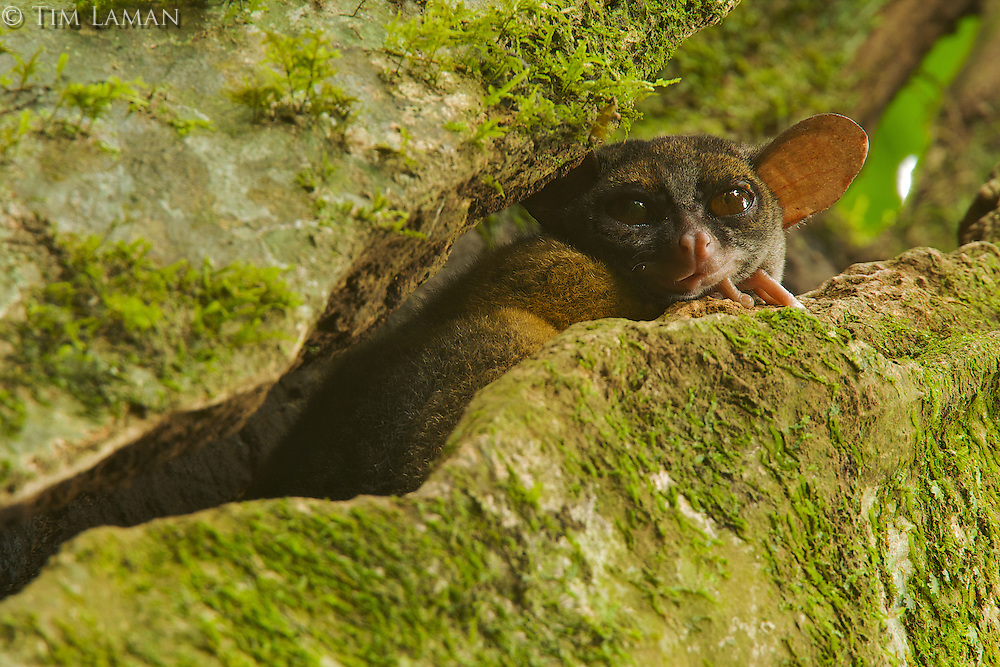 Allen's Squirrel Galago (Galago alleni alleni), also know as a Bushbaby, peers from a crack in its roosting tree (they are nocturnal).  Endemic subspecies to Bioko Island.