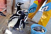 20100727/ Nicolas Celaya - adhocFOTOS/ URUGUAY/ MALDONADO/ SOCOBIOMA/ Rescate de Pinguinos de Magallanes empetrolados, por parte de la Sociedad para la Conservacion de la Biodiversidad de Maldonado. <br /> En la foto: Rescate de Pinguinos de Magallanes empetrolados, por parte de la Sociedad para la Conservacion de la Biodiversidad de Maldonado. Foto: Nicolás Celaya /adhocFOTOS