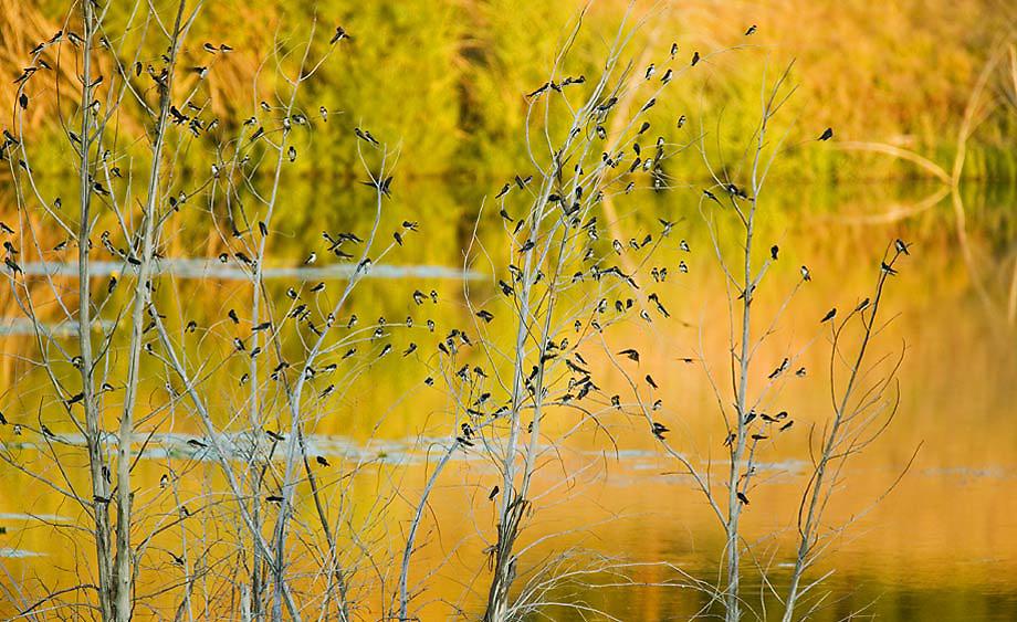 THE EVENING NEWS   Juvenile tree, barn, cliff, and bank swallows exchange premigratory gossip along Blackfoot River, Montana.