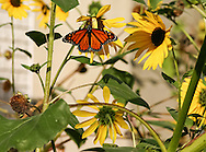 From a corner of a parking lot this charming scene beckoned to me with its monarch butterfly enjoying the untidy stand of brancihing sunflowers.  Quite a treasure trove in a hidden, unpretentious corner of the world, in Rhinebeck, NY. - - -<br /> To view in beautiful detail, larger as well as full screen you can take a look here: <br /> <br /> NOTE:  The image has been customized for the products by the artist to achieve the best effect for that image.  If you make changes and find that you want to return to the artist's setting, simply refresh the page to get back to the artist's settingsbutterfly.  Quite a treasure trove in a hidden, unpretentious corner of the world, in Rhinebeck, NY. - - -
