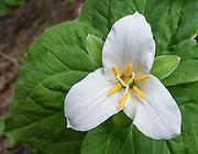 Trillium flower, Iron Creek to Teanaway Ridge Trail, Wenatchee National Forest, Blewett Pass, Washington, USA