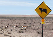 The pronghorn (Antilocapra americana) is a mammal indigenous to interior western and central North America. The pronghorn is often incorrectly called an antelope (which is native only to Eurasia and Africa). The pronghorn species is the only surviving member of the family Antilocapridae, which is part of the Artiodactyla Order (even-toed ungulates; ungulates are hoofed animals). Some close relatives of the pronghorn (several other species in the Antilocapridae family) failed to survive after humans entered North America 15,000 years ago. Visit the Karl G. Jansky Very Large Array (VLA) on the Plains of San Agustin fifty miles west of Socorro, between the towns of Magdalena and Datil, in New Mexico, USA.