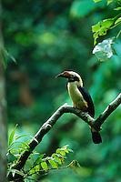 Endangered Visayan Tarictic Hornbill (Penelopides panini) male..Northwest Panay Island Natural Park, Philippines.