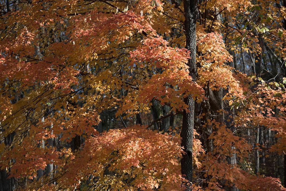 Autumn colors adorn a tree in Huntsville, Alabama.
