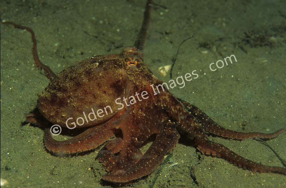 Normally found in crevices or caves among rocky reef structure.    <br /> <br /> Range: Santa Barbara California to Cabo San Lucas Baja Mexico    <br /> <br /> Species: Octopus bimaculatus
