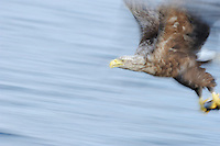 White tailed Sea eagle, Haliaetus albicilla, The Living Sea, North Atlantic, Flatanger, Nord-Trondelag, Norway.
