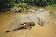 Stranded Catfish<br />Order: Siluriformes<br />Mishuaga River. Amazon Rain Forest<br />PERU.  South America