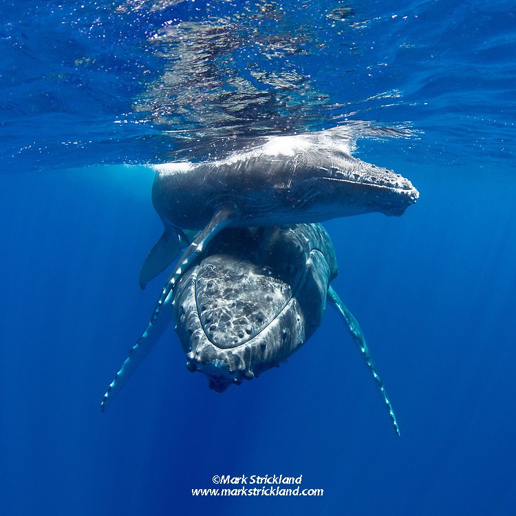 Mother and calf Humpback Whales, Megaptera novaeangliae, Moorea, French Polynesia, Pacific Ocean