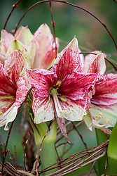 Hippeastrum (Galaxy Group) 'Tosca' with supporting twig framework