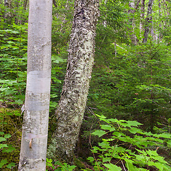 The mixed forest next Cold Stream in Maine's Northern Forest. Cold Stream Gorge. Johnson Mountain Township.