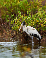 Wood Stork (Mycteria americana). Image taken with a Nikon D4 camera and 500 mm f/4 VR lens.