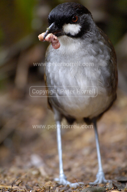 Cerro Tapichalaca Reserve - Monday, Jan 07 2008: A Gralaria Jocotoco stands with a worm in its beak. It is also known as the Grallaria ridgelyi or Jocotoco Antpitta. (Photo by Peter Horrell / http://www.peterhorrell.com)