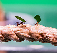 Leafcutter ant at the ZSL London Zoo Annual Stocktake in London, England. Thursday 2nd January 2020