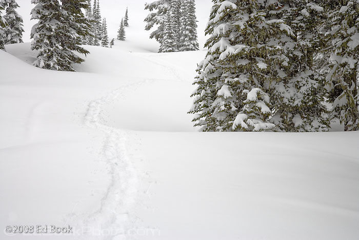 snowshoe tracks between snowladen Subalpine Fir trees a Paradise Valley, Mount Rainier National Park, Washington, USA(Abies lasiocarpa) at Paradise Valley, Mount Rainier National Park, Washington, USA