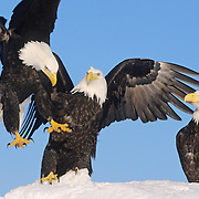 Bald Eagle (Haliaeetus leucocephalus) trio of adults. Alaska