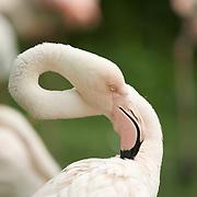 Portrait of a wading flamingo.