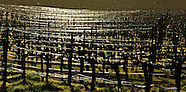 Vines ~ Livermore Valley AVA