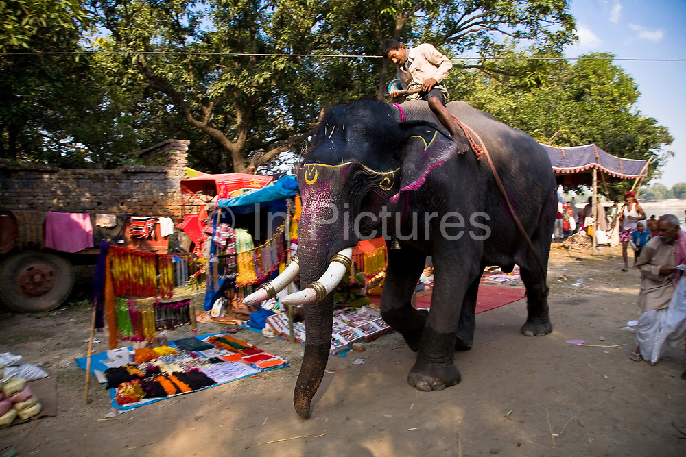 After a bathe in the Gandak river an elephant and his mahout (handler) return to the annual Sonepur animal fair through a crowded street, Bihar province, India
