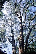 Koa Tree, Hawaii<br />