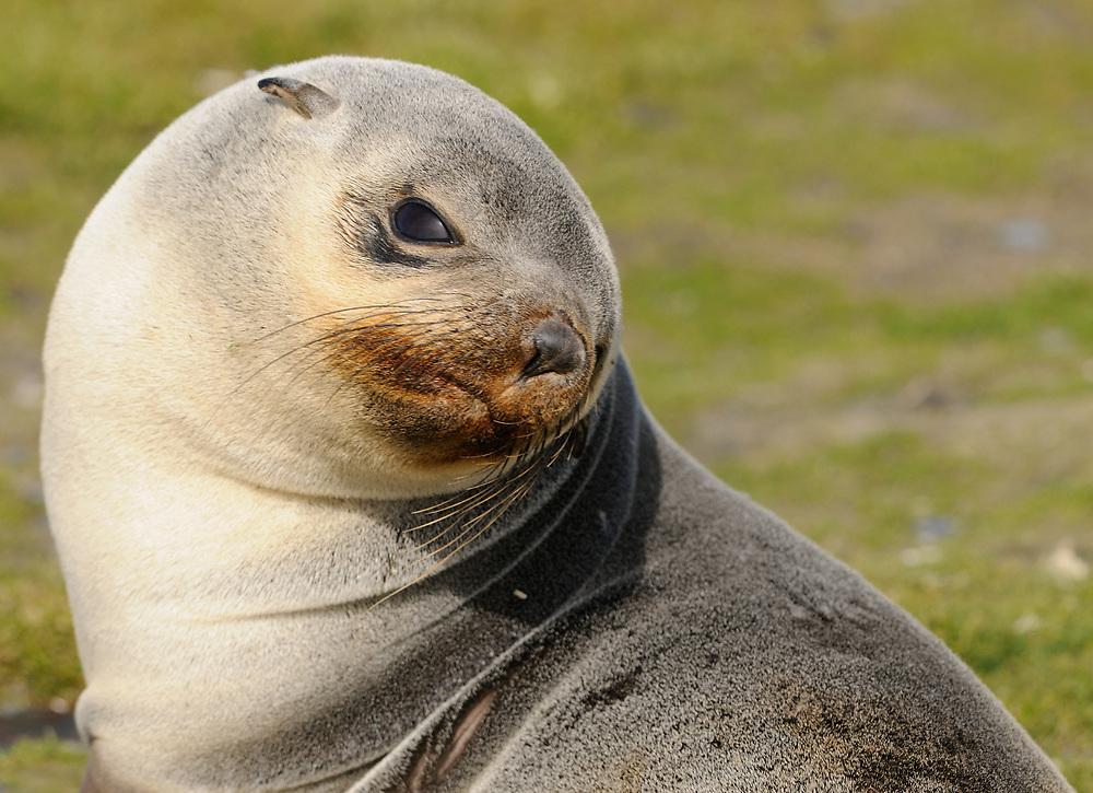 A young  luechistic, pale-coloured, antarctic fur seal (Arctocephalus gazella)  on the beach at Salisbury Plain.  Salisbury Plain, South Georgia. 19Feb16