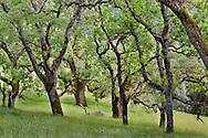 Oak Trees in Spring, Henry Coe State Park, California