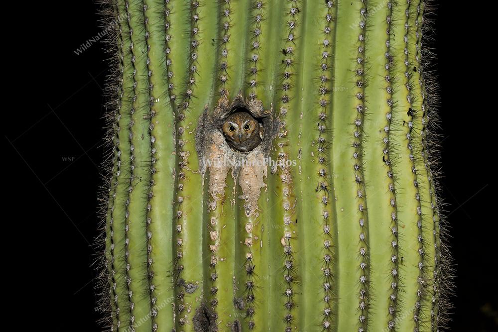 A female Elf Owl (Micrathene whitneyi) peeks out from her nest in a Saguaro cactus (Carnegiea gigantea). (Arizona)