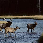 Elk(Wapiti) bull in rut chasing cows across a river,  bugling.  Fall. .Elk(Wapiti) bull in rut chasing cows across a river, bugling.  Fall.
