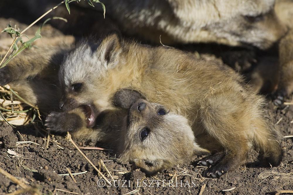Bat-eared fox<br /> Otocyon megalotis<br /> 4 week old pup(s) playing<br /> Masai Mara Reserve, Kenya