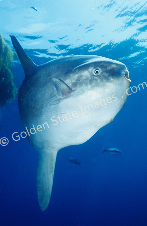 Ocean sunfish feed on jellyfish and other plankton. They can weigh up to 3000 pounds and are often found beneath drift kelp. As for predators, sea lions are commonly seen tearing their fins off leaving them unable to swim. The Ocean Sunfish is the heaviest known bony fish in the world. A Sunfish produces millions of eggs in a single spawn. Sunfish often host a large number of parasites. This is a fin detail with copepod parasites and unknown invertebrate hitching a ride. Their truncated tail is called a Clavus. Range: Warm and temperate seas of the world. Moves inshore off California during summer months Species: Mola mola