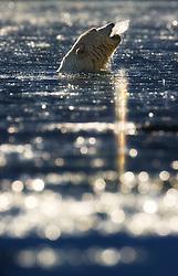 Polar bear (Ursus maritimus) on Svalbard