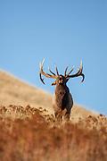 Bugling bull elk during the autumn rut in Montana
