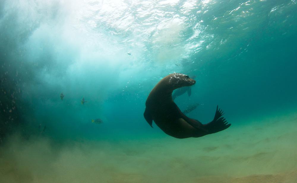 California sea lion (Zalophus californianus) swimming among crashing waves, Cabo San Lucas, Mexico