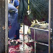 Nederland, Elsendorp, 1-8-2019 Schapen worden ritueel geslacht bij een slagerij om het offerfeest te vieren. Schapen worden aangevoerd en komen langs een stapel huiden van pas geslachte dieren. Slachtafval wordt later door afvalverwerker Rendac opgehaald. Foto: ANP/ Hollandse Hoogte/ Flip Franssen