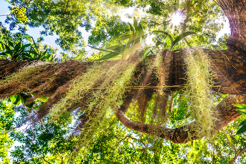 Spanish moss cascading from trees.