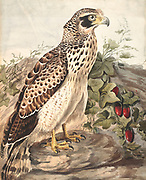 The crested serpent eagle (Spilornis cheela) is a medium-sized bird of prey that is found in forested habitats across tropical Asia. Within its widespread range across the Indian Subcontinent, Southeast Asia and East Asia, 18th century watercolor painting by Elizabeth Gwillim. Lady Elizabeth Symonds Gwillim (21 April 1763 – 21 December 1807) was an artist married to Sir Henry Gwillim, Puisne Judge at the Madras high court until 1808. Lady Gwillim painted a series of about 200 watercolours of Indian birds. Produced about 20 years before John James Audubon, her work has been acclaimed for its accuracy and natural postures as they were drawn from observations of the birds in life. She also painted fishes and flowers. McGill University Library and Archives